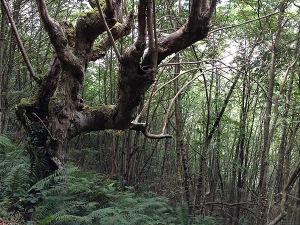Viejo árbol de paseo por el GR