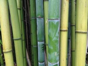 Bambú de un bosquecito cercano al Molino del Bonaco