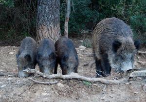 Familia de jabalíes comiendo junto a la carretera
