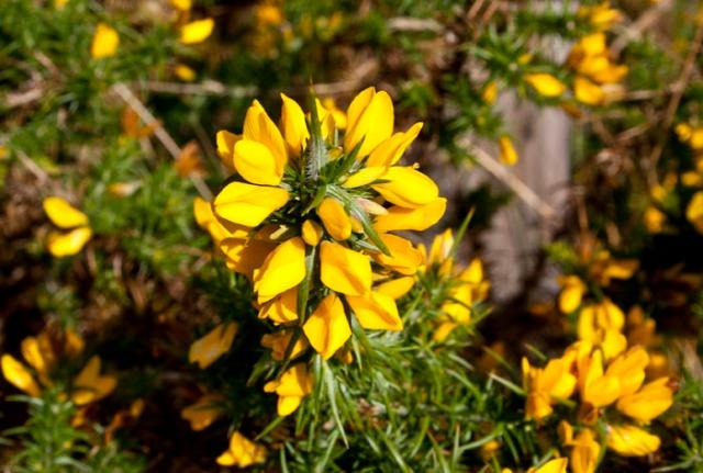 La flor del Toxo (Alrededores de Penagrande).