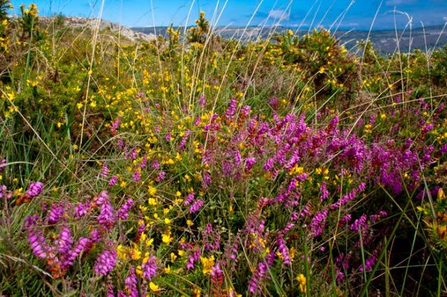 Flores de Brezo (Alrededores de Penagrande).