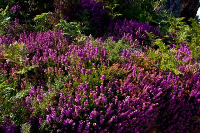 Bonita composición floral formada por brezos (Alrededores de Penagrande).