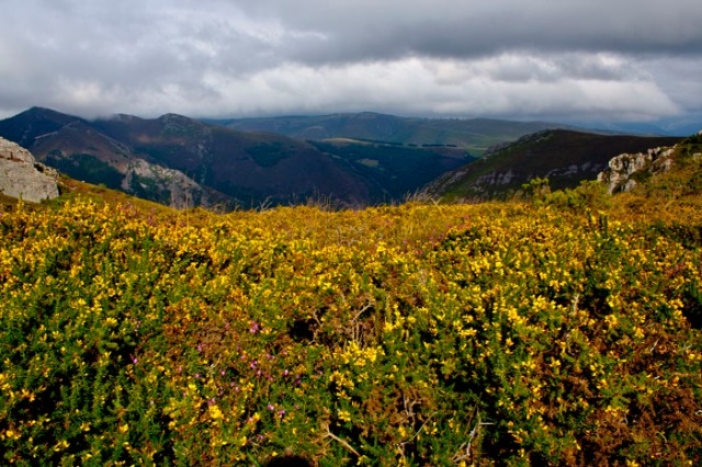 Alfombra de flores de toxo (Alrededores del Pico de Murias).